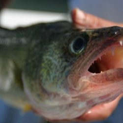 Walleye Closeup
