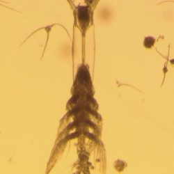 Picture of copepode Monstrillopsis Planifrons. Taken by Aurelie Delaforge